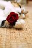 Gato de la tarjeta del día de San Valentín Imágenes de archivo libres de regalías