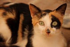 Gato de la tortuga Foto de archivo libre de regalías