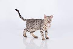 Gato de leopardo Fotografía de archivo