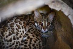 Gato de leopardo Imágenes de archivo libres de regalías