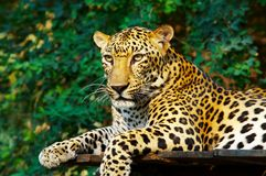 Gato de leopardo Fotografía de archivo libre de regalías