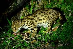 Gato de leopardo (bengalensis de Prionailurus) Imagen de archivo libre de regalías