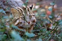Gato de leopardo de Tsushima fotografía de archivo