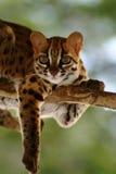 Gato de leopardo, Felis Bengalennsis, Sarawak, Malásia Fotos de Stock