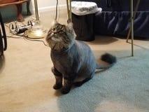 Gato de Lian Foto de Stock Royalty Free