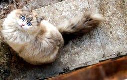 Gato de los ojos azules Fotos de archivo