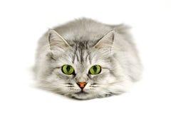Gato de los ojos verdes Foto de archivo libre de regalías