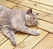 Gato de lujo del decking Imagen de archivo