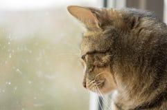Gato de mármore que olha fora da janela interessada no que está acontecendo fora Foto de Stock