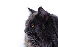 Gato de Maine Coon Fotos de archivo libres de regalías
