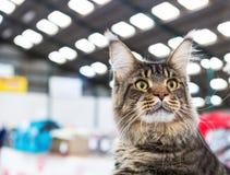 Gato de Maine Coon Foto de archivo libre de regalías