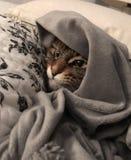 Gato de Maine Coon debajo de una manta Imágenes de archivo libres de regalías