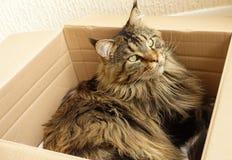 Gato de Maine Coon del gato atigrado de Brown que pone en una caja de cartón Imagen de archivo