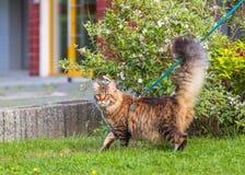 Gato de Maine Coon en parque Foto de archivo