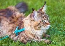 Gato de Maine Coon en parque Imagen de archivo libre de regalías