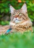 Gato de Maine Coon en parque Imágenes de archivo libres de regalías