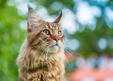Gato de Maine Coon no parque Fotos de Stock Royalty Free