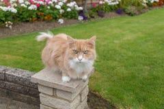 Gato de Maine Coon que se sienta en la pared en el jardín Fotografía de archivo libre de regalías