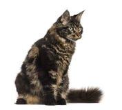 Gato de Maine Coon que senta-se e que olha isolado afastado no branco Foto de Stock