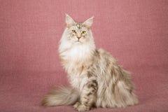 Gato de Maine Coon que senta-se no fundo malva Foto de Stock