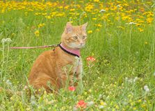 Gato de gato malhado alaranjado na trela, em um prado ensolarado da mola Imagens de Stock