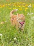 Gato de gato malhado alaranjado na trela na grama alta Imagens de Stock Royalty Free