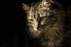 Gato de gato malhado de cabelos compridos bonito em um fundo preto, como se estava emergindo das sombras imagens de stock royalty free