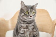 Gato de gato malhado cinzento adorável na cadeira fotografia de stock royalty free