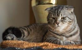 Gato de gato malhado cinzento da dobra escocesa bonita com listras brancas imagens de stock
