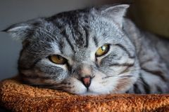 Gato de gato malhado cinzento da dobra escocesa bonita com listras brancas imagem de stock