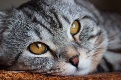 Gato de gato malhado cinzento da dobra escocesa bonita com listras brancas fotografia de stock