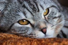 Gato de gato malhado cinzento da dobra escocesa bonita com listras brancas foto de stock royalty free