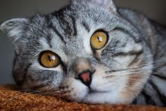 Gato de gato malhado cinzento da dobra escocesa bonita com listras brancas fotos de stock royalty free