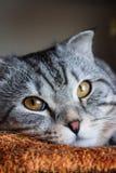 Gato de gato malhado cinzento da dobra escocesa bonita com listras brancas imagens de stock royalty free