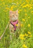 Gato de gato malhado considerável do gengibre no chicote de fios Fotos de Stock