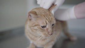 Gato de gato malhado do gengibre na clínica veterinária que tem uma verificação acima das orelhas pelo especialista veterinário e video estoque