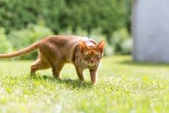 Gato de gato malhado do gengibre na grama em uma noite morna do verão Fotografia de Stock