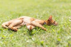 Gato de gato malhado do gengibre na grama em uma noite morna do verão Foto de Stock Royalty Free