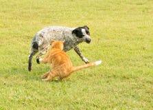 Gato de gato malhado do gengibre que golpeia em um cão manchado obnóxio Imagem de Stock