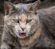 Gato de gato malhado engraçado da concha de tartaruga com a língua que cola para fora o meados de-bocejo imagens de stock
