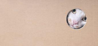 Gato de gato malhado engra?ado que olha curioso fora de um furo em uma caixa de cart fotos de stock