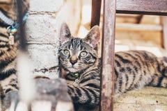 Gato de gato malhado listrado que encontra-se olhando a câmera imagem de stock royalty free