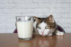Gato de gato malhado velho que olha curioso a um copo do leite fotos de stock royalty free