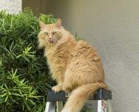 Gato de mapache anaranjado de Maine que se sienta encima de escalera Fotos de archivo