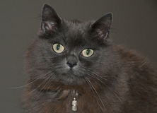 Gato de mapache de Maine Foto de archivo libre de regalías