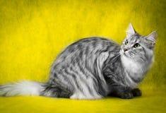 Gato de mapache de Maine del gato atigrado en fondo amarillo Imagen de archivo libre de regalías