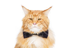 Gato de mapache hermoso de Maine con la corbata de lazo Fotos de archivo