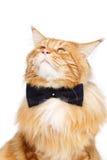 Gato de mapache hermoso de Maine con la corbata de lazo Fotografía de archivo libre de regalías