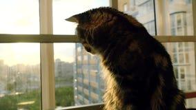 Gato de mapache hermoso de Maine que se sienta en la puesta del sol del reloj de la ventana almacen de metraje de vídeo