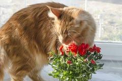 Gato de mapache de mármol rojo de Maine que huele las flores color de rosa rojas en un pote foto de archivo libre de regalías